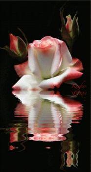 roseinwhite